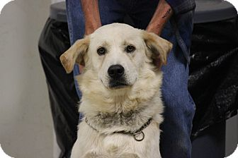 Golden Retriever/Great Pyrenees Mix Dog for adoption in Brattleboro, Vermont - Milo