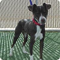 Adopt A Pet :: Dezi - Phoenix, AZ