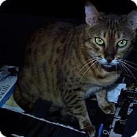 Adopt A Pet :: Nutmeg - Lantana, FL