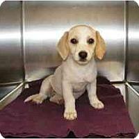 Adopt A Pet :: Athina - Alexandria, VA