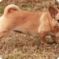 Adopt A Pet :: Ginger ($250) - Ocala, FL