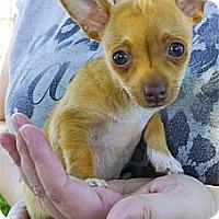Adopt A Pet :: Sammie 2 pounds, not a yipper - Sacramento, CA