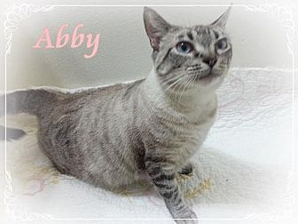 Siamese Cat for adoption in Orange City, Florida - Abby