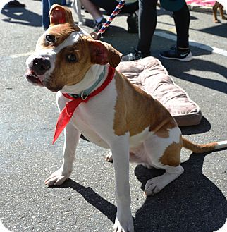 American Pit Bull Terrier/Hound (Unknown Type) Mix Dog for adoption in San Diego, California - Comet