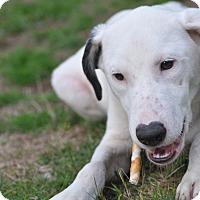 Adopt A Pet :: Beethoven - Tumwater, WA