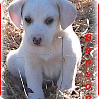 Adopt A Pet :: Benson- Adoption Pending - Marlborough, MA