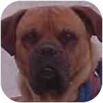 Bullmastiff Puppy for adoption in Oviedo, Florida - Jake