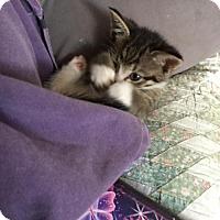 Adopt A Pet :: Ninja (baby boy) - Harrisburg, PA