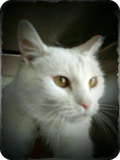 Domestic Shorthair Cat for adoption in Pueblo West, Colorado - Lorelei