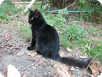 Domestic Mediumhair Cat for adoption in Gainesville, Virginia - Onyx