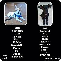Adopt A Pet :: Fox - Denver, CO