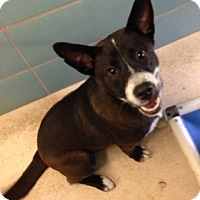 Staffordshire Bull Terrier/Terrier (Unknown Type, Medium) Mix Dog for adoption in Bradenton, Florida - Jake