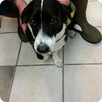 Adopt A Pet :: Shelby - Chippewa Falls, WI