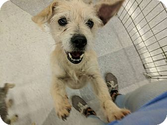 Terrier (Unknown Type, Small) Mix Dog for adoption in Las Vegas, Nevada - Tasha
