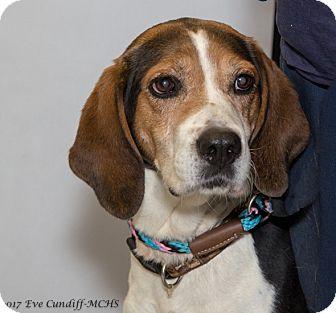 Treeing Walker Coonhound Mix Dog for adoption in Martinsville, Indiana - Starsky
