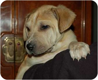 Shar Pei/Labrador Retriever Mix Puppy for adoption in Chula Vista, California - Huxley
