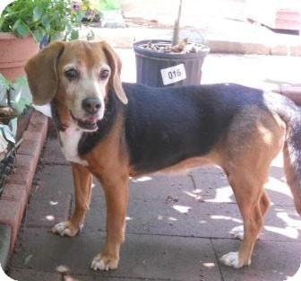 Beagle Dog for adoption in Waldorf, Maryland - Millie