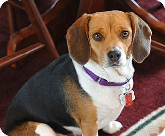 Beagle Dog for adoption in Pittsburgh, Pennsylvania - Berta