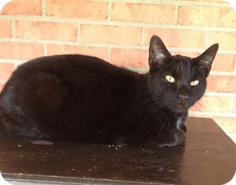 Domestic Shorthair Cat for adoption in Troy, Ohio - Midnight