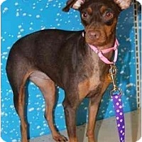 Adopt A Pet :: Boomette - Gilbert, AZ