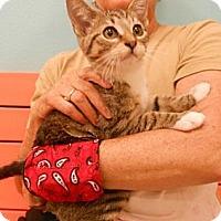 Adopt A Pet :: Captain - Reston, VA