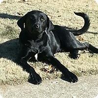 Adopt A Pet :: *Caper - PENDING - Westport, CT