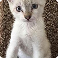 Adopt A Pet :: Lolo - Chandler, AZ
