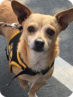 Chihuahua/Corgi Mix Dog for adoption in Costa Mesa, California - Rambo
