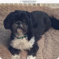 Adopt A Pet :: Max & Bear-bonded pair - LEXINGTON, KY
