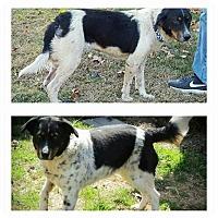 Adopt A Pet :: Aspen - Joplin, MO