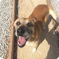 Adopt A Pet :: Buddy - ADOPTION SPECIAL - St. Louis, MO