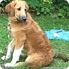 Adopt A Pet :: Brook in NY - pup!