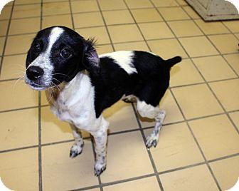 Rat Terrier/Feist Mix Puppy for adoption in Lumberton, North Carolina - Oreo