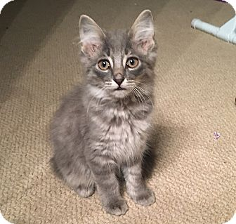 Domestic Longhair Kitten for adoption in Cleveland, Ohio - Cassie