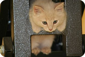 American Shorthair Kitten for adoption in Foster, Rhode Island - Spirit