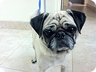Pug Dog for adoption in Anaheim, California - Lucky