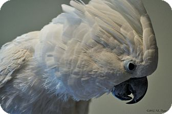 Cockatoo for adoption in Shawnee Mission, Kansas - Duncan