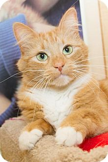 Domestic Mediumhair Cat for adoption in Irvine, California - Trout