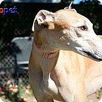 Adopt A Pet :: Nala - Rancho Santa Margarita, CA