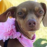 Adopt A Pet :: Chrissy - Baton Rouge, LA