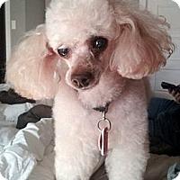 Adopt A Pet :: Rica - Toronto, ON