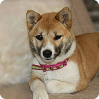 Adopt A Pet :: Kami - Manassas, VA