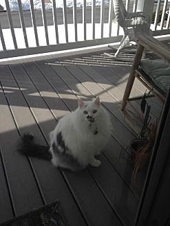 Maine Coon Cat for adoption in Blairstown, New Jersey - CP - NJ - Cody