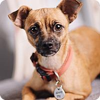Adopt A Pet :: Chalupa - Portland, OR
