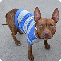 Pit Bull Terrier Mix Dog for adoption in Manhattan, New York - Munchy