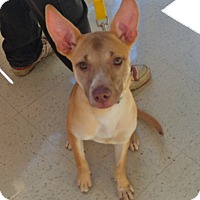 Adopt A Pet :: Dixie in Ct - East Hartford, CT