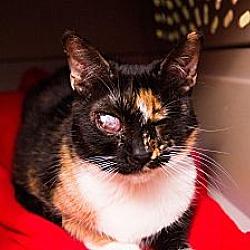 Photo 3 - Calico Cat for adoption in Chandler, Arizona - Mia Mia