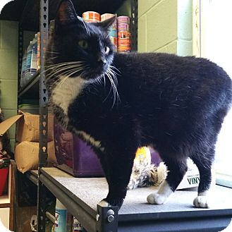 Domestic Shorthair Cat for adoption in Union, New Jersey - Big Ben