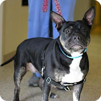 Pit Bull Terrier Mix Dog for adoption in Scituate, Massachusetts - Juliet