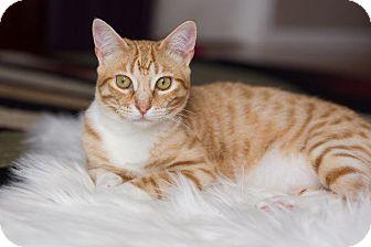 Domestic Shorthair Cat for adoption in Fenton, Missouri - Pancake